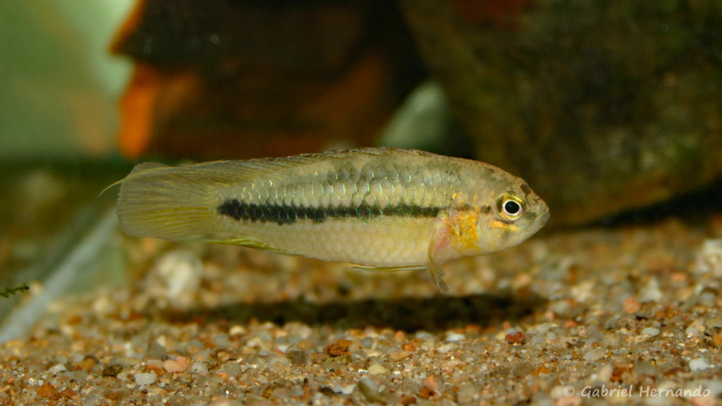 Nannacara aureocephalus (Club aquariophile de Vernon, décembre 2004)