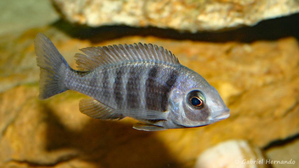 "Placidochromis sp. ""Phenochilus Tanzania"" (chez moi, août 2004)"
