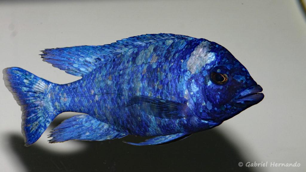 """Placidochromis sp. """"Phenochilus Tanzania"""" (chez moi, décembre 2007)"""