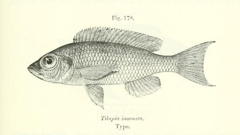Tilapia inornata, gravure tirée de Boulenger, G.A. 1915, page 263