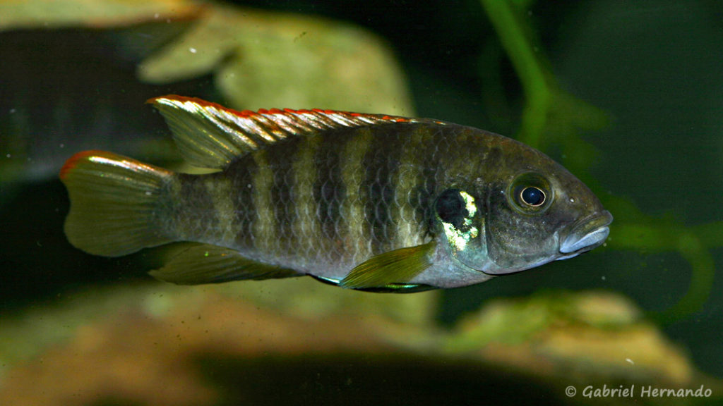 """Benitochromis sp. """"Eseka"""" (Club aquariophile de Vernon, avril 2008)"""