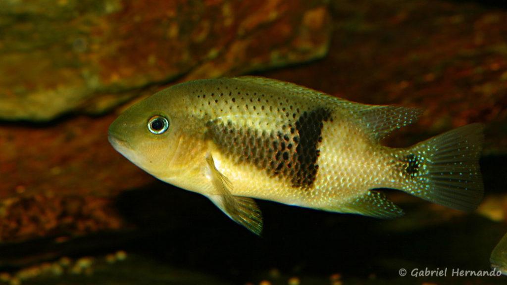 Chuco intermedium, variété du Rio Bascan (Club aquariophile de Vernon, avril 2008)