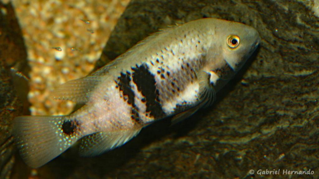 Chuco intermedium, variété du Rio Bascan avec alevins (Club aquariophile de Vernon, octobre 2008)