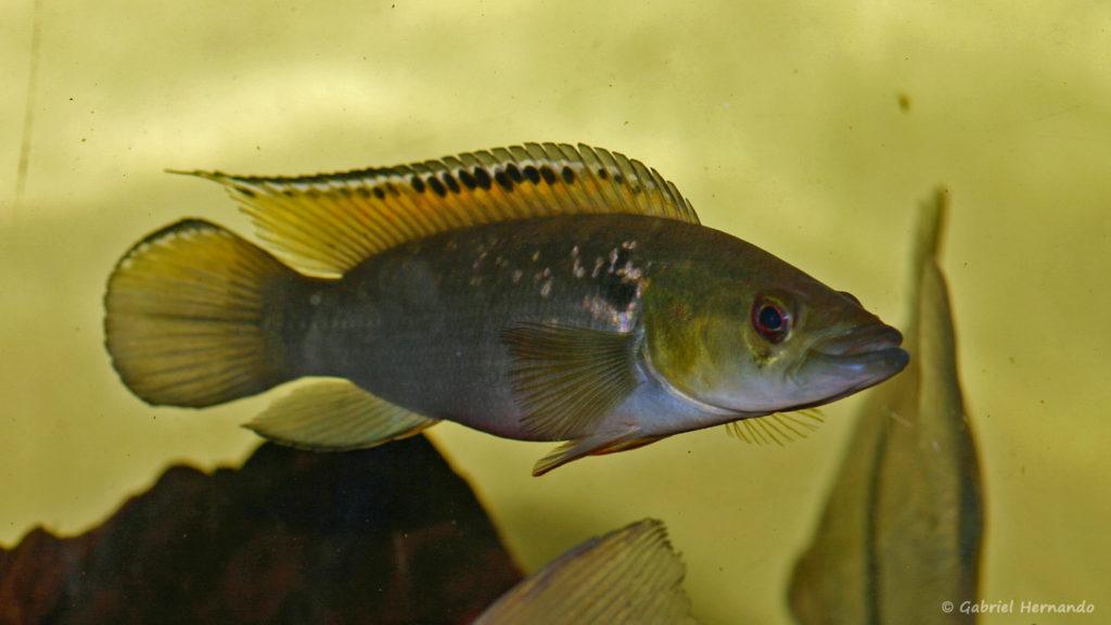 Crenicichla saxatilis, variété de Guyana (Hobby Zoo, Duisbourg, mars 2009)