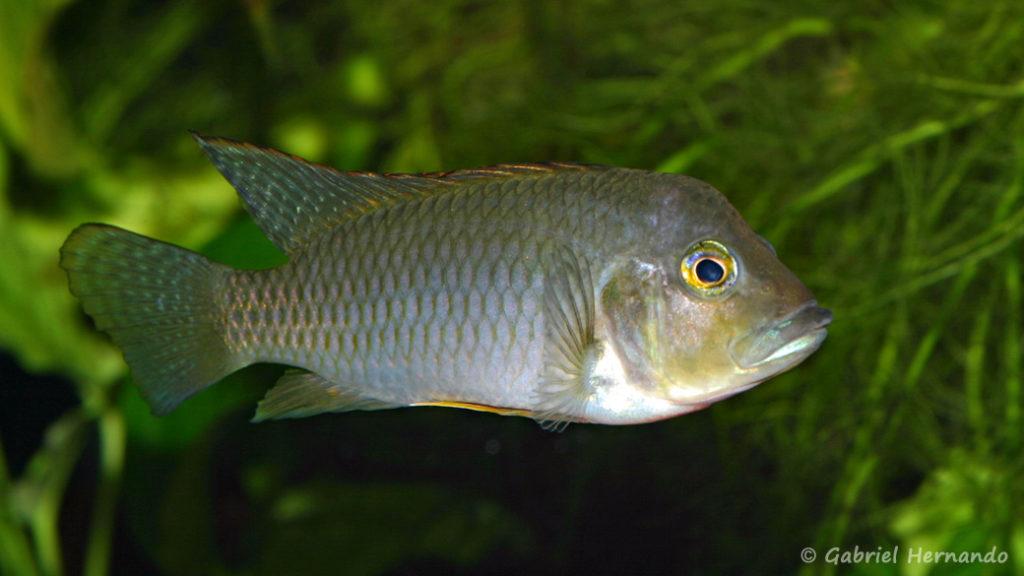 Ctenochromis polli (Club Aquariophile de Vernon, avril 2008)