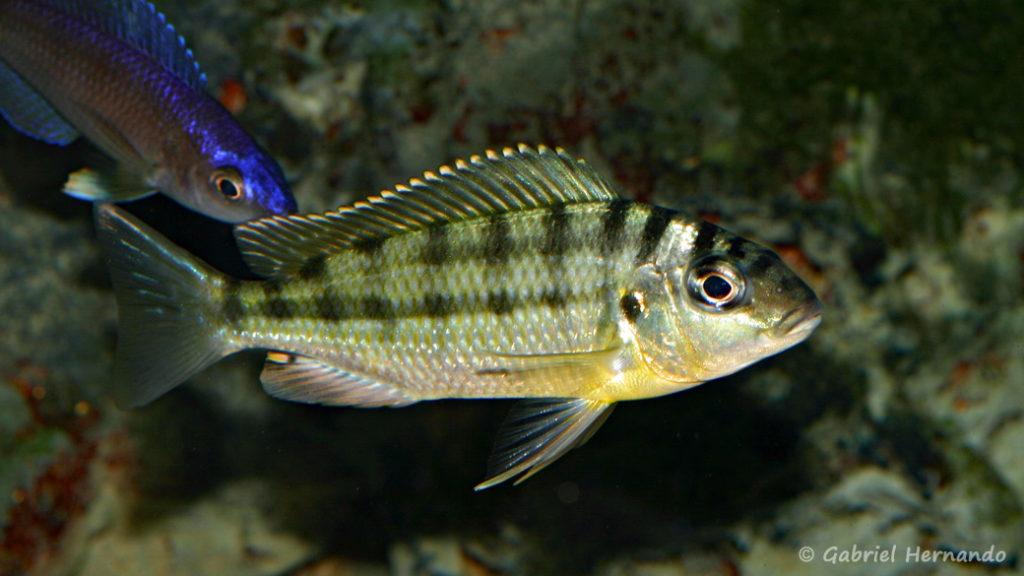 Limnotilapia dardenni (Club Aquariophile de Rouen, mars 2008)