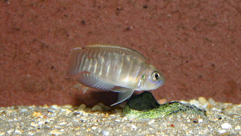 Neolamprologus brevis, variété de Chimba (chez Benoît Jonas, juillet 2007)
