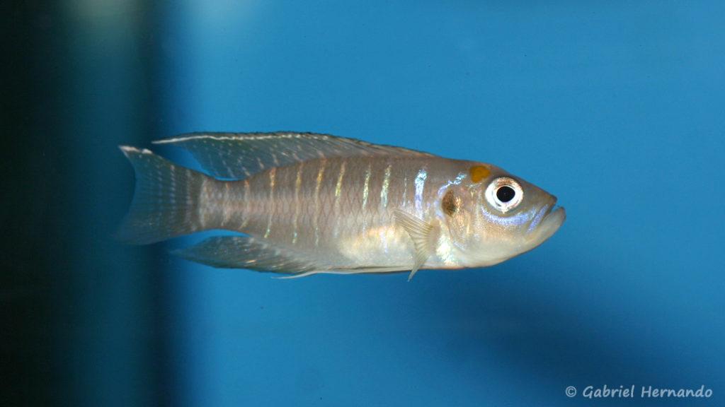 Neolamprologus brevis, variété de Katabe (Aqua Treff, Duisbourg, mars 2011)