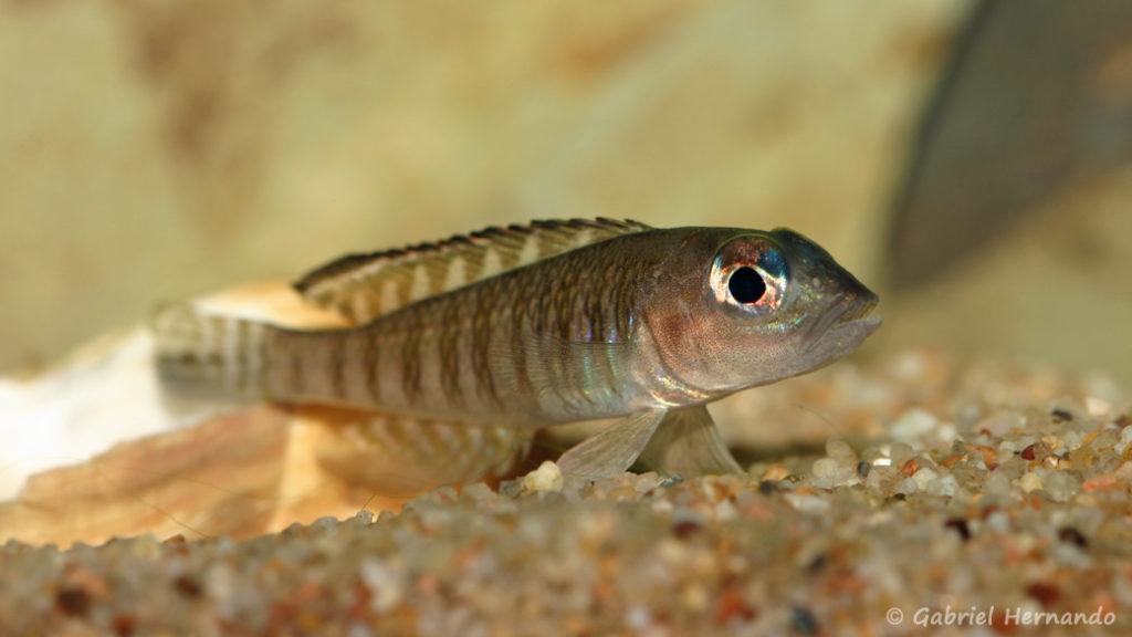 Neolamprologus signatus (Association Aquariophile de Rouen, mars 2008)