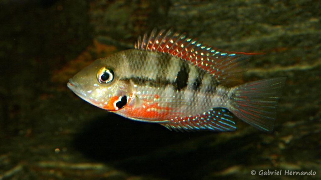 Thorichthys meeki, variété du Rio Misol Ha (Club aquariophile de Vernon, juin 2008)