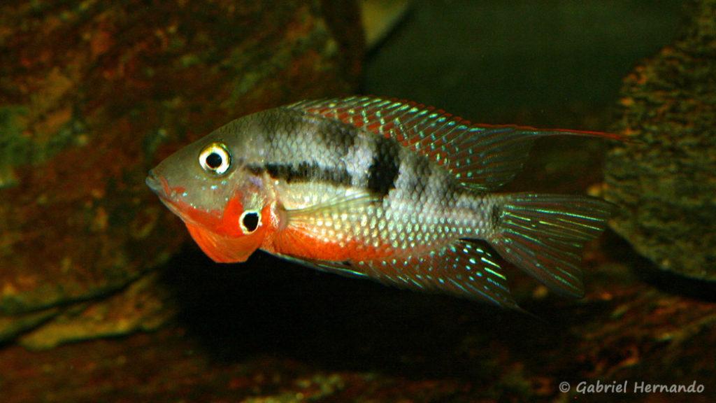 Thorichthys meeki, variété du Rio Misol Ha (Club aquariophile de Vernon, septembre 2008)