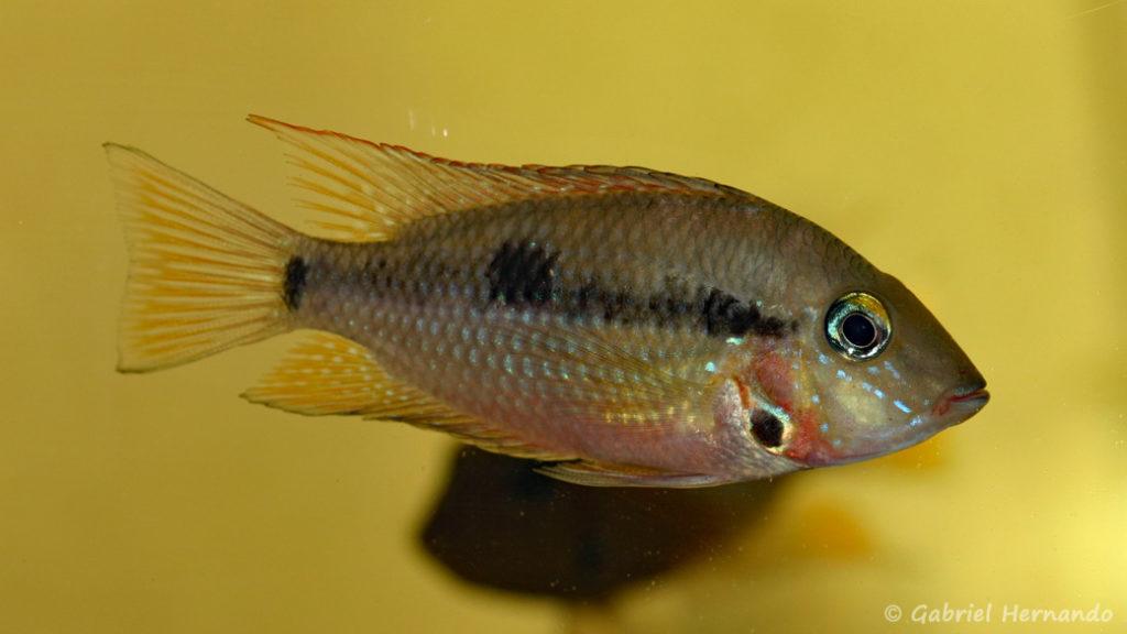 Thorichthys meeki, variété du Rio Subin (Hobby zoo Tillman, Duisbourg, juin 2008)