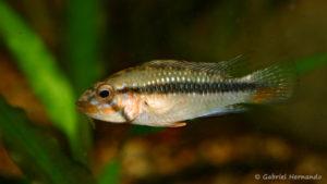 Apistogramma barlowi, variété de Ampiyacu (Club aquariophile de Vernon, juillet 2008)