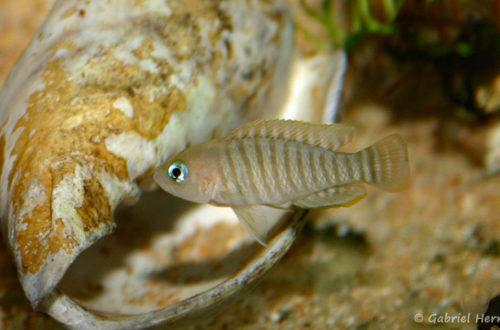 Neolamprologus multifasciatus (Club aquariophile de Vernon, décembre 2007)