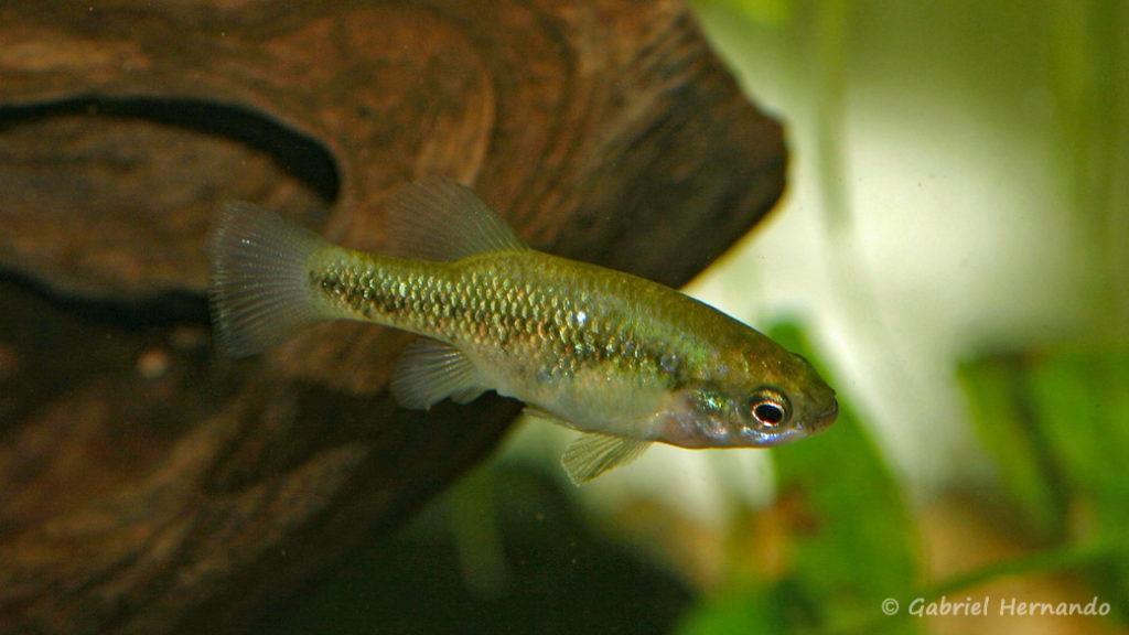 Xenoophorus captivus, mâle (Club aquariophile de Vernon, juin 2008)