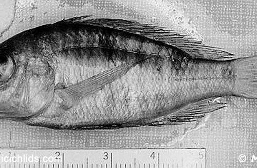 Aulonocara brevirostre , lectotype BMNH 1935.6.14:2224 de 57 mm LS © Copyright Photo M. K. Oliver