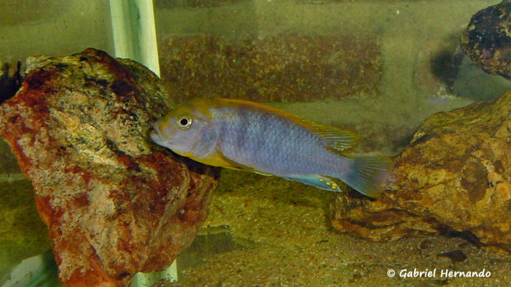 "Labidochromis sp. ""Hongi"" chez moi en juillet 2001"