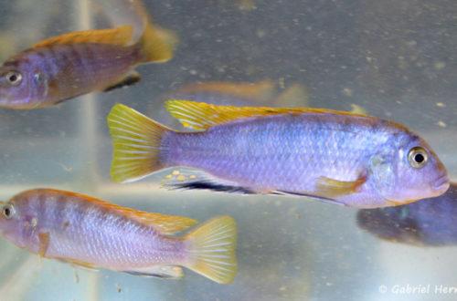"""Labidochromis sp. """"Hongi"""" (Arlon, mai 2007)"""