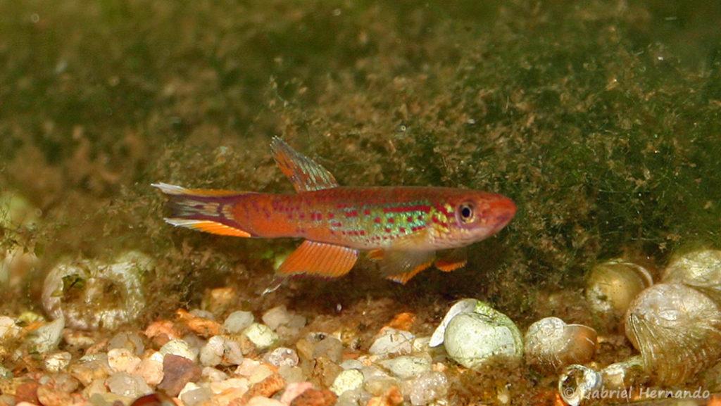 Aphyosemion australe, variété de Cap Estérias, Gabon (club aquariophile de Vernon, décembre 2007)
