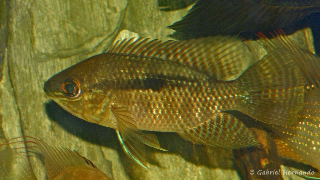 Chaetochranchus flavescens (chez Yolande Koseve, août 2008)