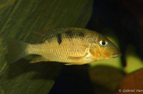 Geophagus crassilabris (chez Yolande Koseve, août 2008)