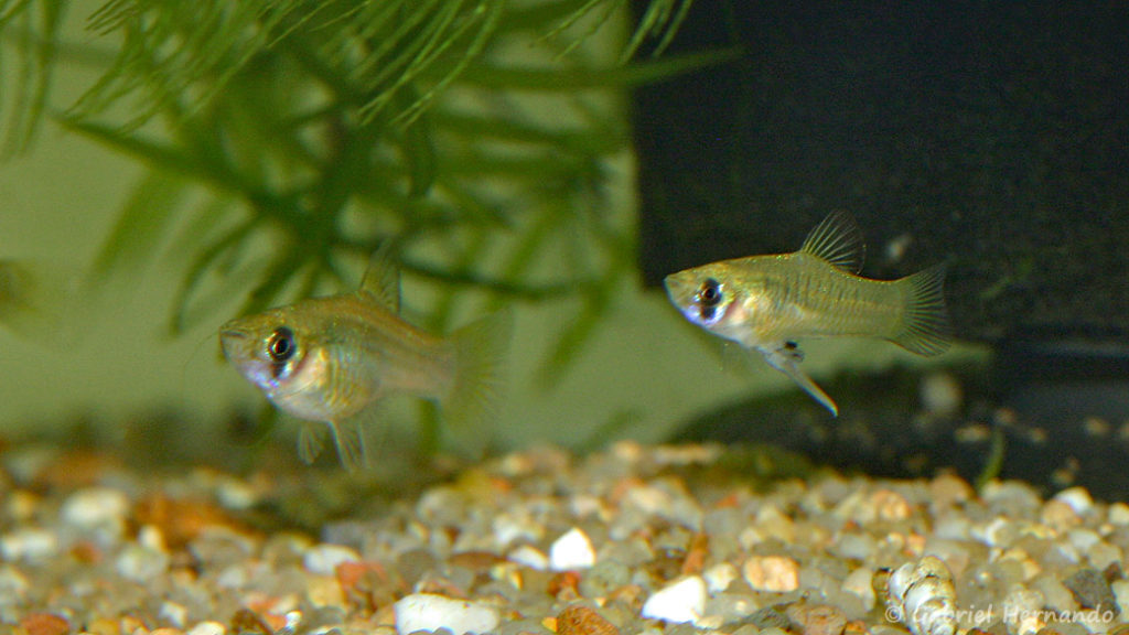Phallichthys amates, couple (Club aquariophile de Vernon, septembre 2008)