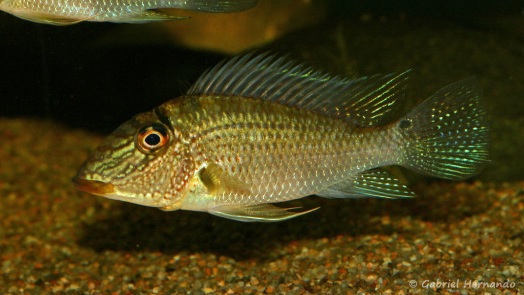 Satanoperca leucosticta (Club aquariophile de Vernon, septembre 2008)