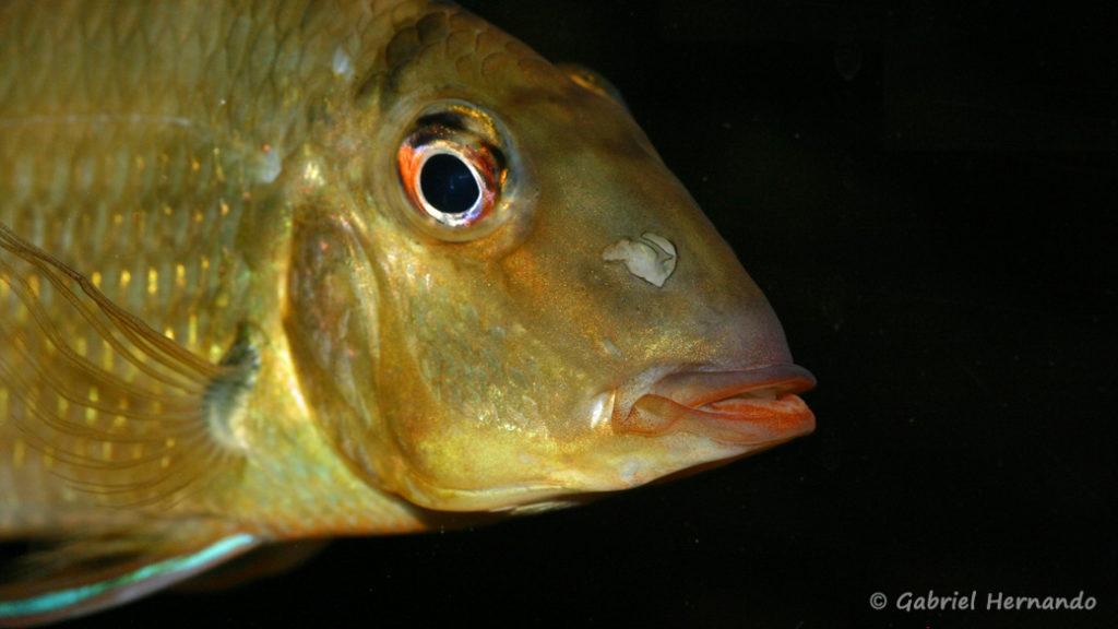 """Satanoperca sp. """"Red Lips"""", variété de la Crique Boulanger, Guyane (chez Yolande Koseve, août 2008)"""