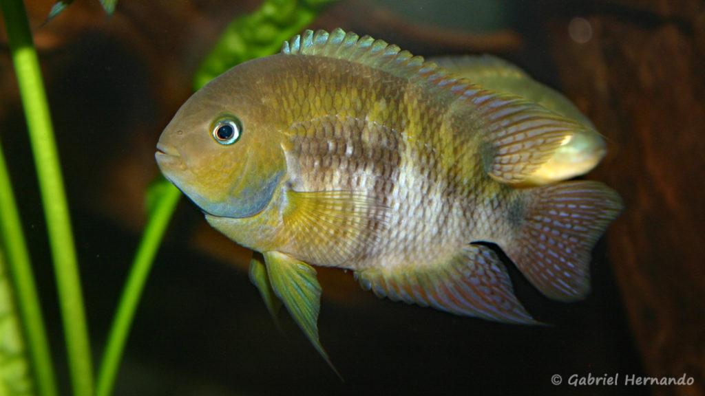 Cryptoheros sajica (Club aquariophile de Vernon, juillet 2007)