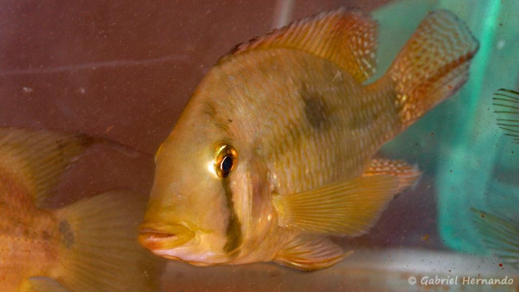 Geophagus camopienis (Nancy, congrès AFC 2008)