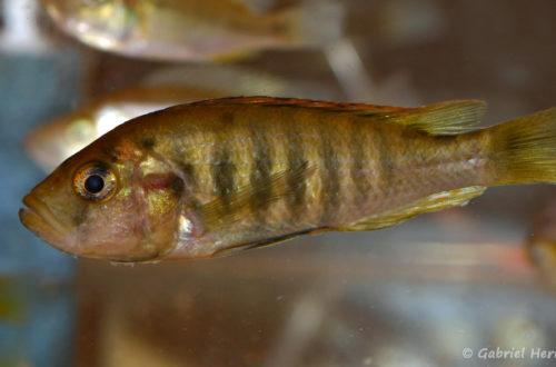 Haplochromis melanopterus (Nancy, congrès AFC 2008)