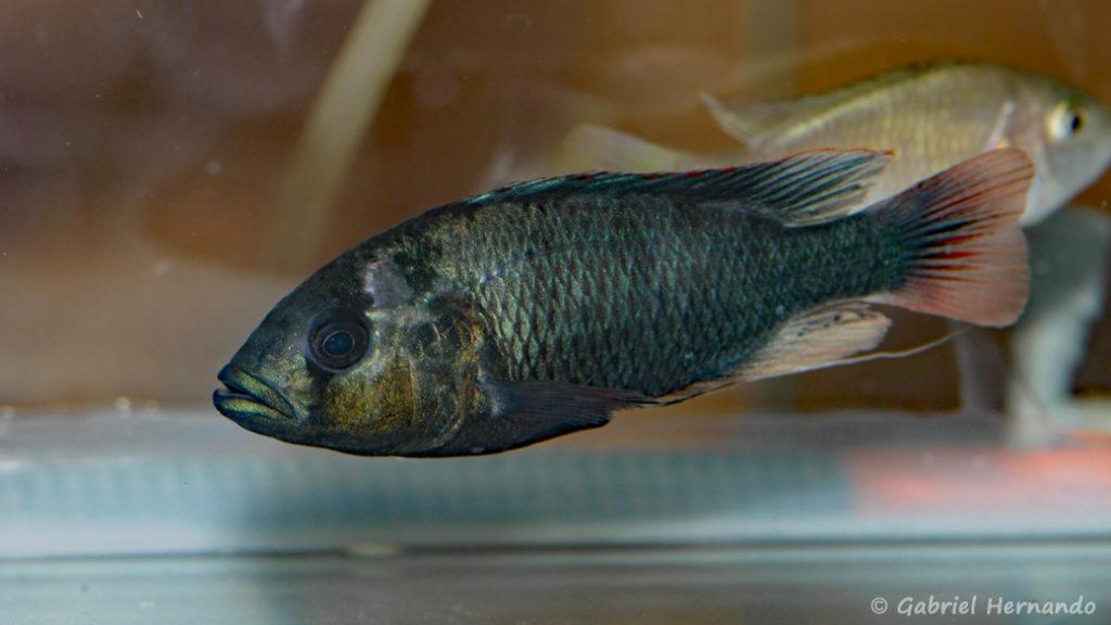 Haplochromis nubilus (Nancy, congrès AFC 2008)