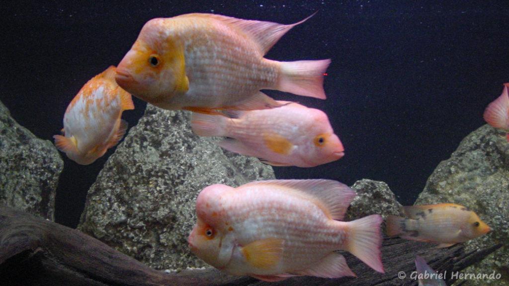 Amphilophus citrinellus (Aquarium de Saint Malo intramuros, février 2003)