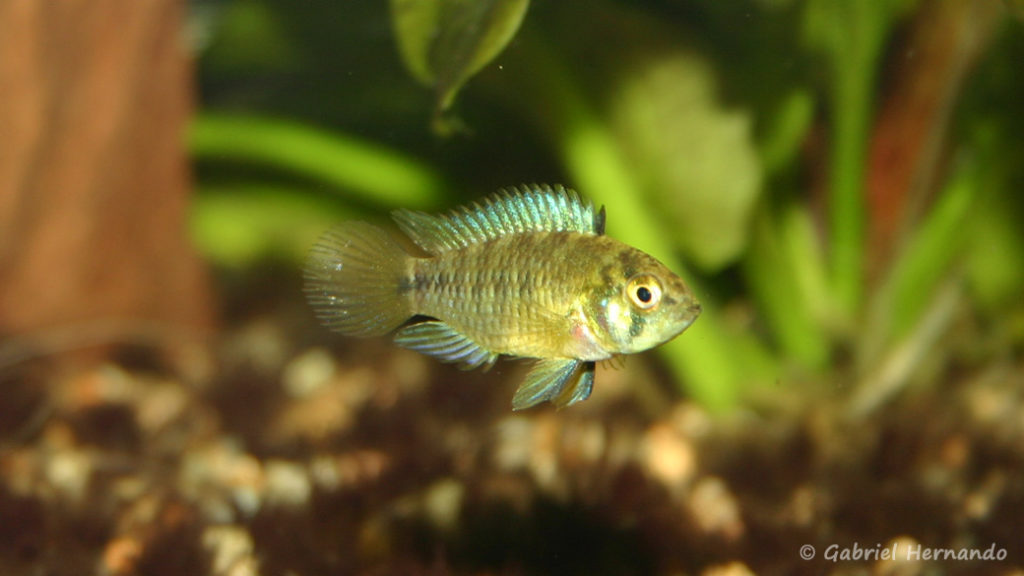Apistogramma borellii (Club aquariophile de Vernon, janvier 2006)