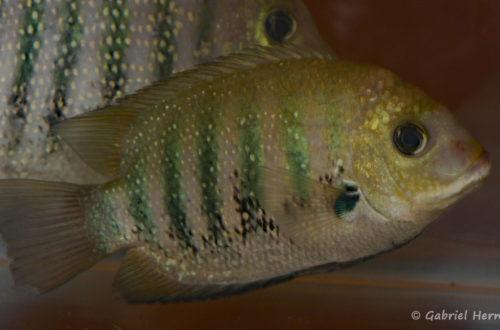 Etroplus suratensis (Nancy, congrès AFC 2008)