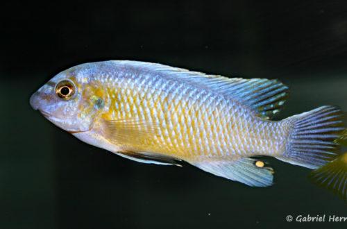 Labeotropheus fuelleborni , variété de Katale (Abysse, septembre 2006)