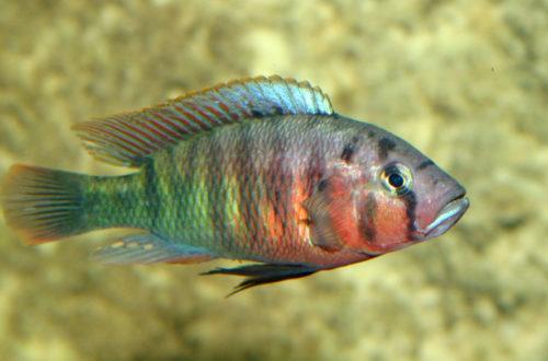 Pundamilia nyererei, variété de Zue Island (Club aquariophile de Vernon, juin 2004)