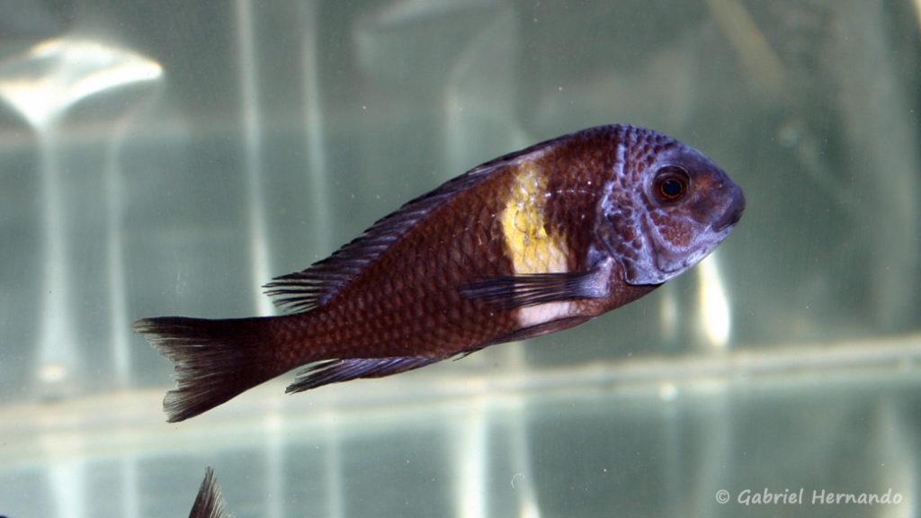 Tropheus duboisi, variété de Maswa (Vichy, congrès AFC 2005)