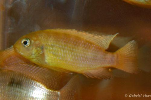 Tropheops macrophtalmus, variété de Kirondo (Nancy, congrès AFC 2008)