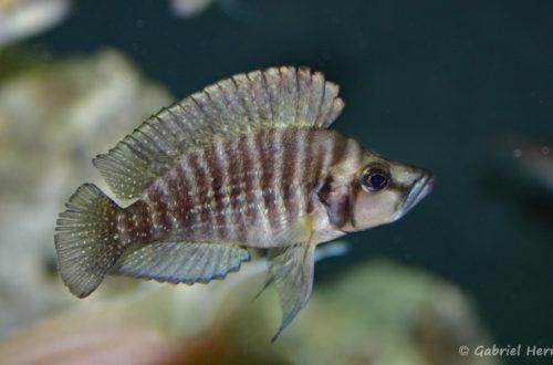 Altolamprologus compressiceps, variété de Chaitika (Club aquariophile de Vernon, juin 2004)