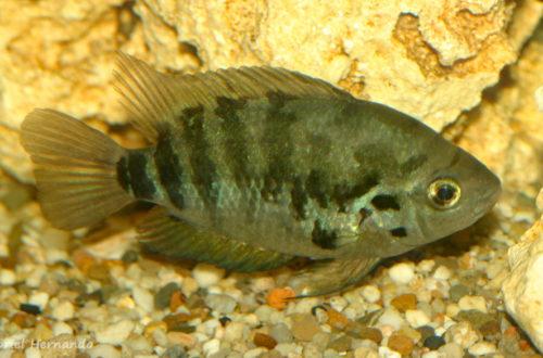 Archocentrus centrarchus (Hobby Zoo Tilmann, Duisbourg, mars 2009)