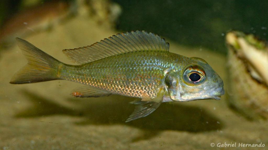 Callochromis macrops, variété de Kasaba Bay (Aquabeek, Pays Bas, mars 2009)