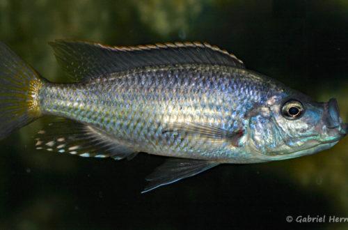 Caprichromis orthognatus, mâle