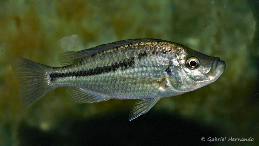 Caprichromis orthognatus, femelle