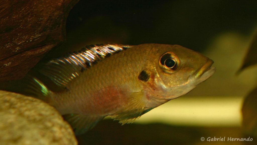Chromidotilapia guentheri, du Lac Volta, au Ghana (dans le local de Steve et Jérôme, décembre 2008)
