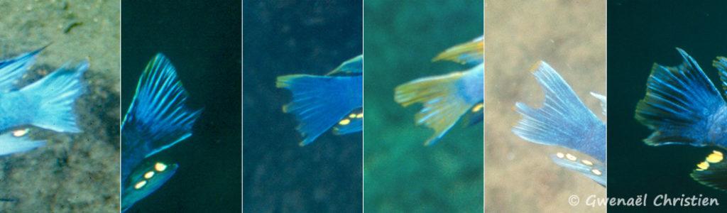In situ, nageoires caudales ayant certainement fait l'objet d'attaque de prédateur tel que Genyochromis mento