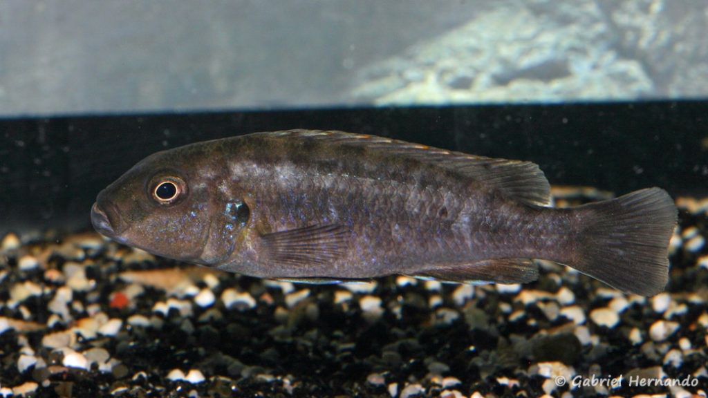 Genyochromis mento, (dans le local de Steve Steve Aeschbacher, décembre 2008)