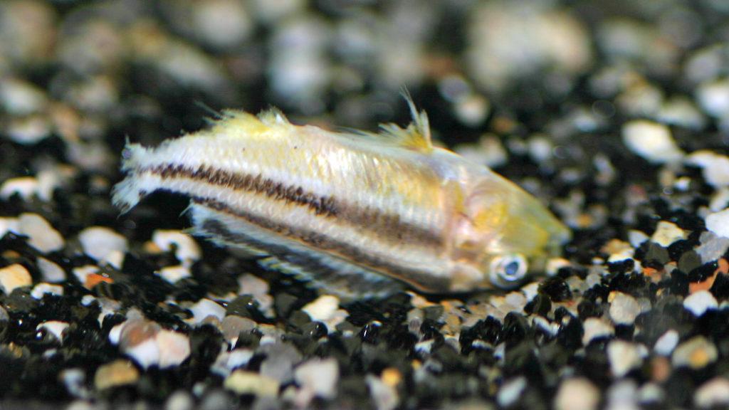Melanochromis auratus, après une attaque de Genyochromis mento, (dans le local de Steve Steve Aeschbacher, décembre 2008)