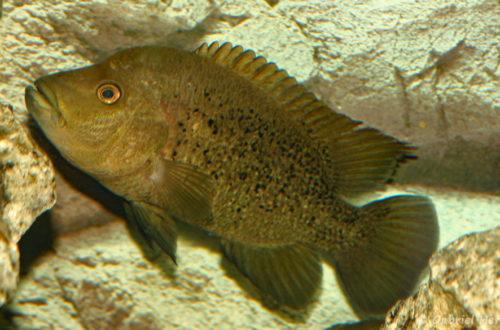 Herichthys bartoni (Hobby Zoo Tillman, Duisbourg, mars 2009)