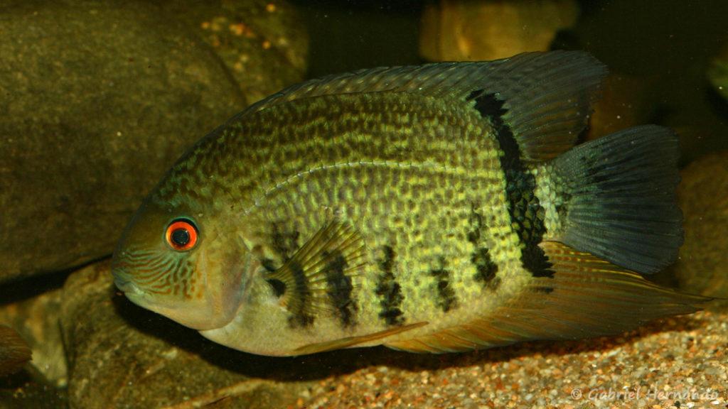 """Heros sp. 'Santarem"""" (Club aquariophile de Vernon, septembre 2008)"""